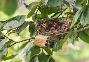 口を開けて猛暑に耐える孵化4日目のヒヨドリ四羽のヒナの写真素材 [FYI04945132]