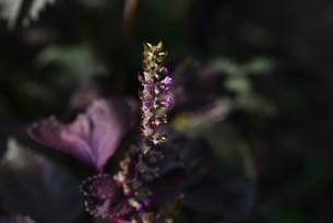 シソの花の写真素材 [FYI04945600]