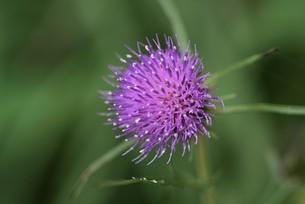 アザミの花のクローズアップの写真素材 [FYI04945666]
