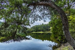 岩尾池の千年杉の写真素材 [FYI04946590]