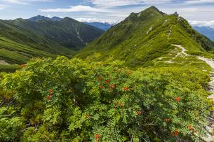 三沢岳稜線からナナカマドと三沢岳、左は中央アルプス南陵線の写真素材 [FYI04946662]