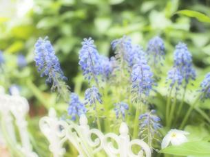 ムスカリの花の写真素材 [FYI04946910]