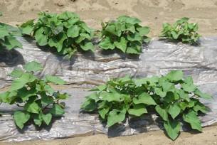 サツマイモ栽培の写真素材 [FYI04947203]