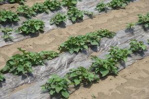 サツマイモ栽培の写真素材 [FYI04947204]