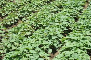 サツマイモ栽培の写真素材 [FYI04947205]