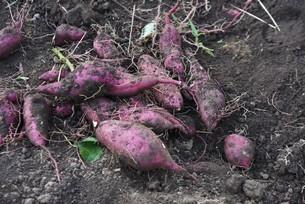 サツマイモ栽培の写真素材 [FYI04947211]