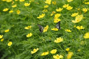 アゲハ蝶とコスモスの写真素材 [FYI04947267]