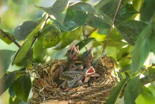 巣の中で伸びをする孵化6日目のヒヨドリの幼鳥の写真素材 [FYI04947278]