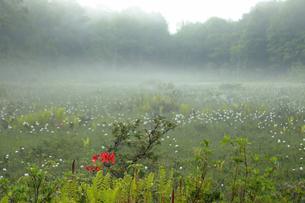 6月 ワタスゲが咲き乱れる駒止湿原の写真素材 [FYI04947377]