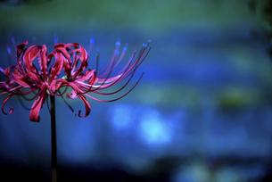 真っ赤な彼岸花の写真素材 [FYI04947435]