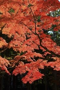 高野山の紅葉の写真素材 [FYI04948704]
