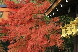 京都・下鴨神社の紅葉の写真素材 [FYI04948718]