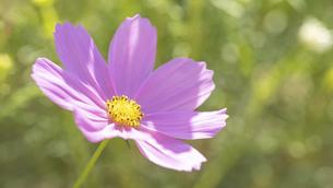 【秋】ピンク色のコスモスの花 秋桜の写真素材 [FYI04948806]