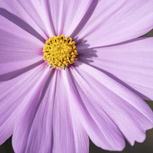 【秋】ピンク色のコスモスの花 1:1の写真素材 [FYI04948809]
