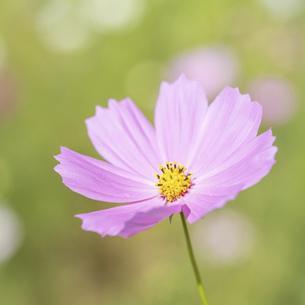【秋】ピンク色のコスモスの花 1:1の写真素材 [FYI04948811]