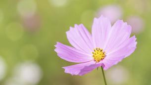 【秋】ピンク色のコスモスの花 秋桜の写真素材 [FYI04948812]