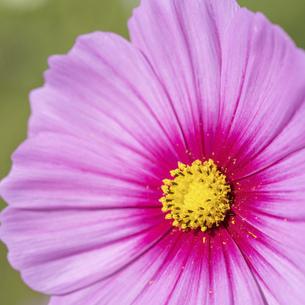 【秋】ピンク色のコスモスの花 1:1の写真素材 [FYI04948813]