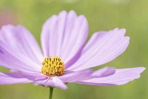 【秋】ピンク色のコスモスの花 秋桜の写真素材 [FYI04948814]