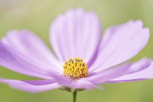 【秋】ピンク色のコスモスの花 秋桜の写真素材 [FYI04948817]