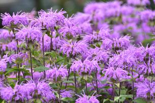 ヤグルマハッカ(シソ科ヤグルマハッカ属の植物 別名ベルガモット)の紫色の花と葉の写真素材 [FYI04948889]