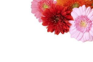 様々な色のガーベラ の写真素材 [FYI04948903]