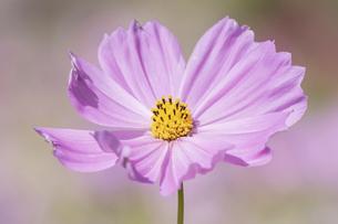 【秋】ピンク色のコスモスの花 秋桜の写真素材 [FYI04948951]
