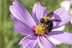 【秋】クマバチがピンク色のコスモスで蜜を集める様子 昆虫の写真素材 [FYI04948952]