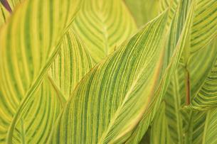 カンナベンガルタイガーの葉の写真素材 [FYI04949331]