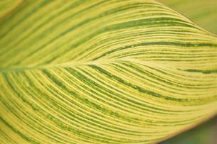 カンナベンガルタイガーの葉の写真素材 [FYI04949332]