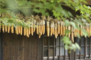 軒先で干されるトウモロコシの写真素材 [FYI04949361]