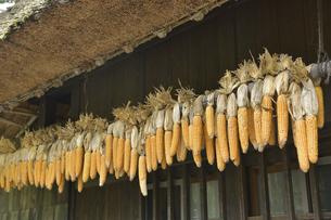 軒先で干されるトウモロコシの写真素材 [FYI04949362]