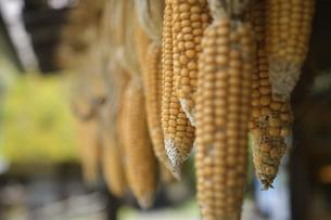 軒先で干されるトウモロコシの写真素材 [FYI04949364]