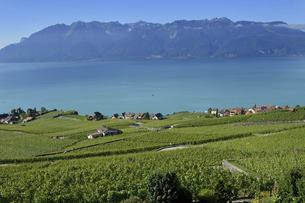 スイス ラヴォー地区の葡萄畑の写真素材 [FYI04949467]