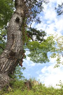 青空をバックに幹をくねらせて立つ木の写真素材 [FYI04949622]