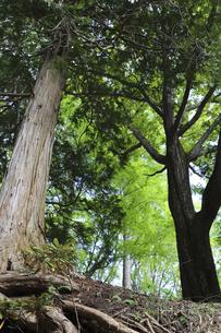 すくっと立つ緑の木々の写真素材 [FYI04949624]