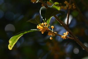キンモクセイの花の写真素材 [FYI04949703]