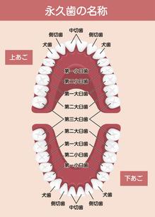 大人の歯・永久歯の歯並び/ 歯の名称 イラストのイラスト素材 [FYI04950070]