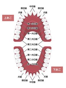 大人の歯・永久歯の歯並び/ 歯の名称 イラストのイラスト素材 [FYI04950071]
