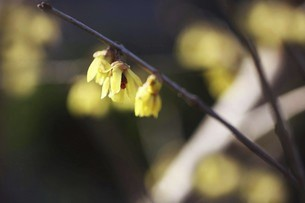 春を呼ぶロウバイの花の写真素材 [FYI04950220]