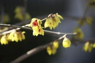 春を呼ぶロウバイの花の写真素材 [FYI04950221]