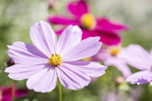 【秋】ピンク色のコスモスの花 秋桜の写真素材 [FYI04950365]