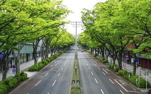 表参道 新緑のケヤキ並木(東京都渋谷区)の写真素材 [FYI04950429]