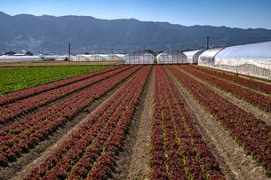 福岡県 耳納連山を背景にレタス畑とほうれん草畑の写真素材 [FYI04950636]