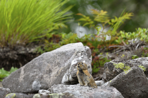 ガレ場に現れたエゾナキウサギ(北海道・鹿追町)の写真素材 [FYI04950658]