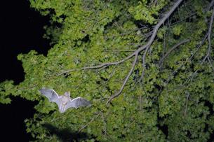 森の中を飛翔するキタクビワコウモリ(北海道・知床)の写真素材 [FYI04950666]