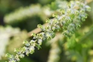 シソの実の収穫の写真素材 [FYI04951171]