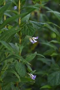 ヤブマメの花の写真素材 [FYI04951183]