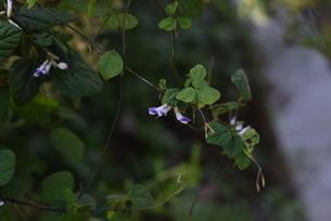 ヤブマメの花の写真素材 [FYI04951185]