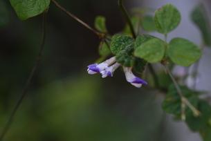 ヤブマメの花の写真素材 [FYI04951186]