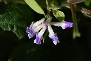 ヤブマメの花の写真素材 [FYI04951188]